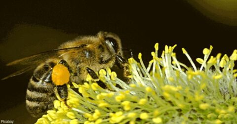bees endangered, are bees endangered, why are bees important, why are bees endangered, bees, bee, honeybee