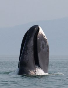 Bowhead whale, Nature, Animals, Ocean, Science, Genetics, Environment, the rate of metabolism