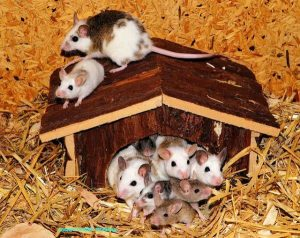 Mice, Mouse, Mammals, Human test study, Experiments, Organs, Animals, Nature