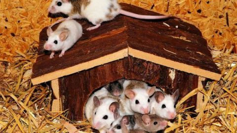 Mice, Mouse, Primates, Mammals, Human test study, Experiments, Organs, Animals, Nature