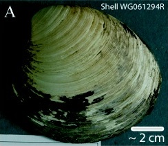 Ming clam shell, Nature, Animals, Ocean, Science, Genetics, Environment, the rate of metabolism