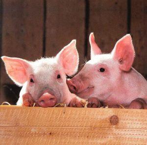 Pig, Mammals, Human test study, Experiments, Organs, Animals, Nature