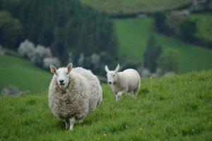 Sheep, Mammals, Human test study, Experiments, Organs, Animals, Nature