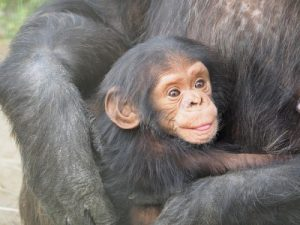 chimpanzee, Primates, Mammals, Human test study, Experiments, Organs, Animals, Nature