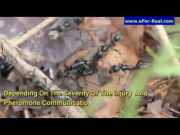 African Matabele Ants: Fierce Killers And Paramedics